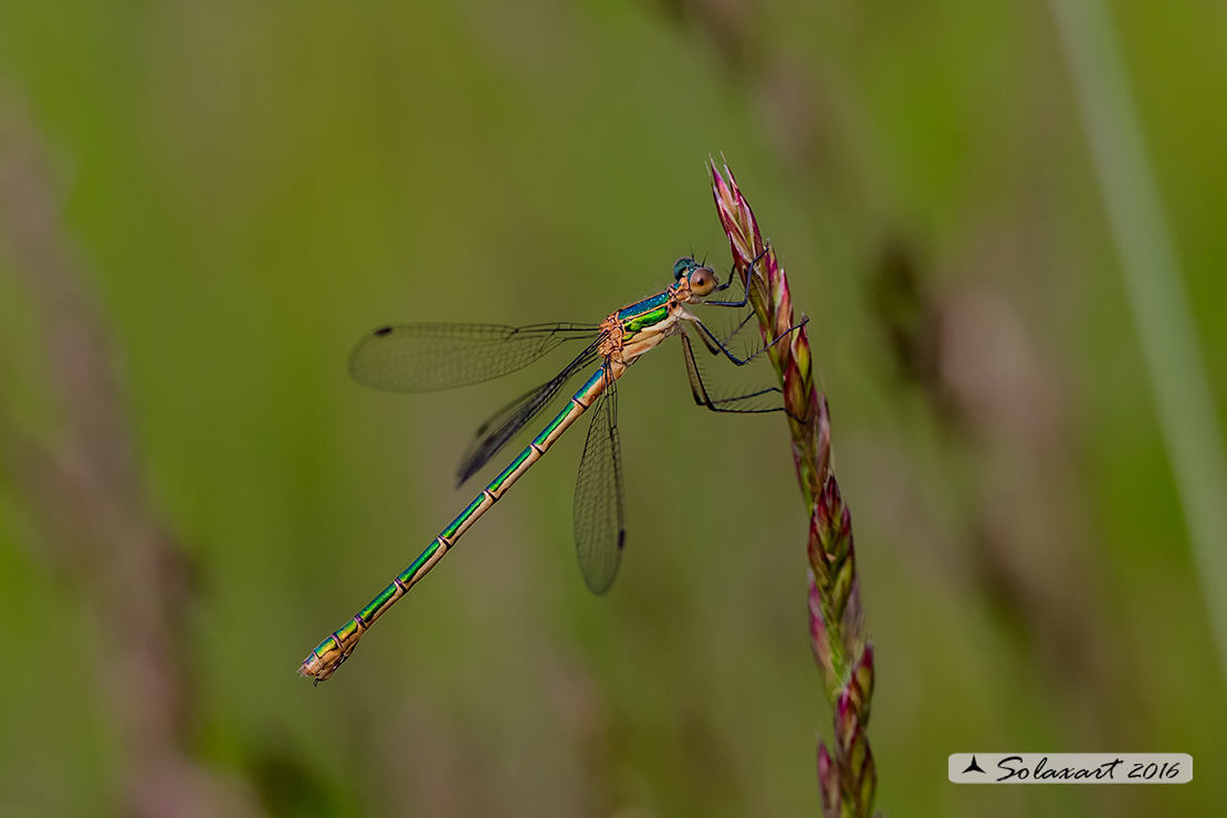 Lestes sponsa (femmina)    ;    Emerald Damselfly (female)