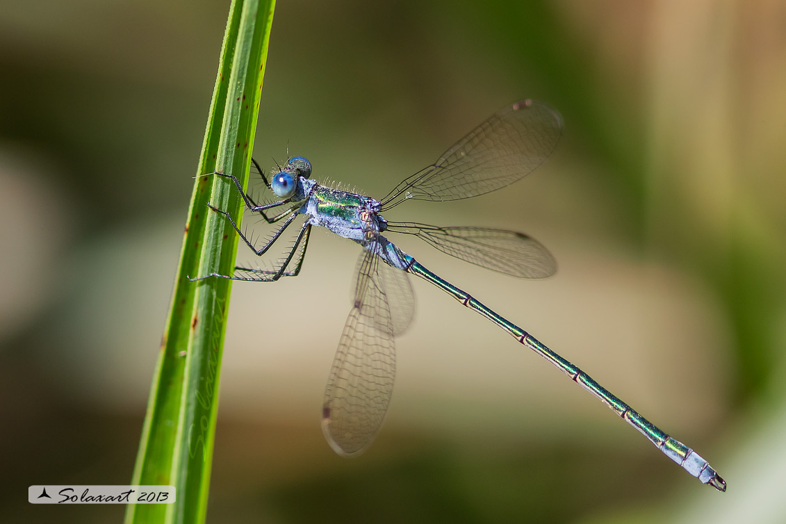 Lestes sponsa - Emerald Damselfly or Common Spreadwing