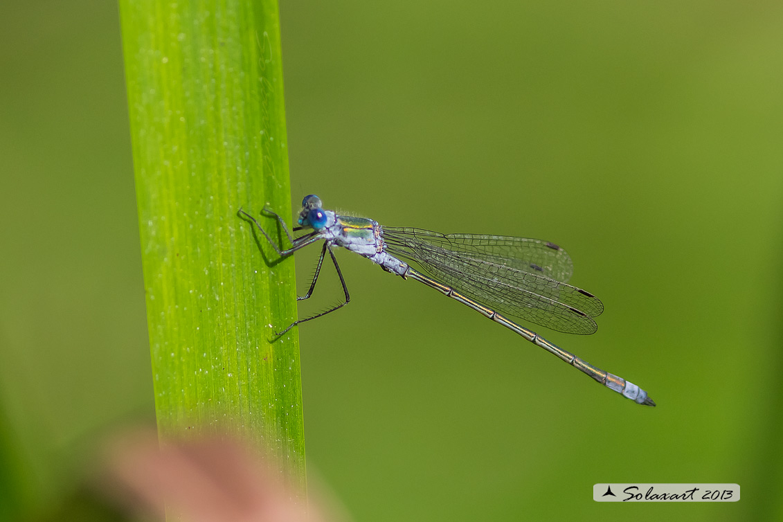 Lestes sponsa (maschio) - Emerald Damselfly (male)