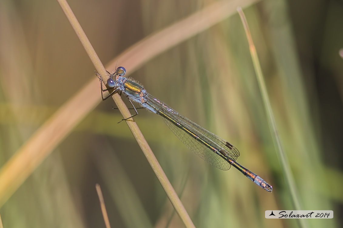Lestes sponsa (maschio )  - Emerald Damselfly (male)