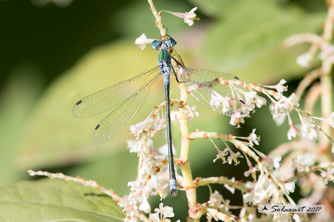 Lestes sponsa (maschio )  ;    Emerald Damselfly (male)
