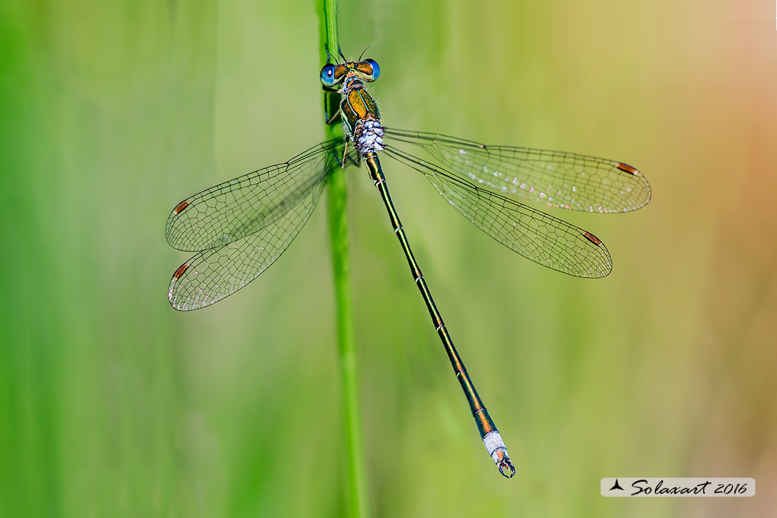 Lestes virens  (maschio)    ;   Small Emerald Damselfly or Small Spreadwing  (male)
