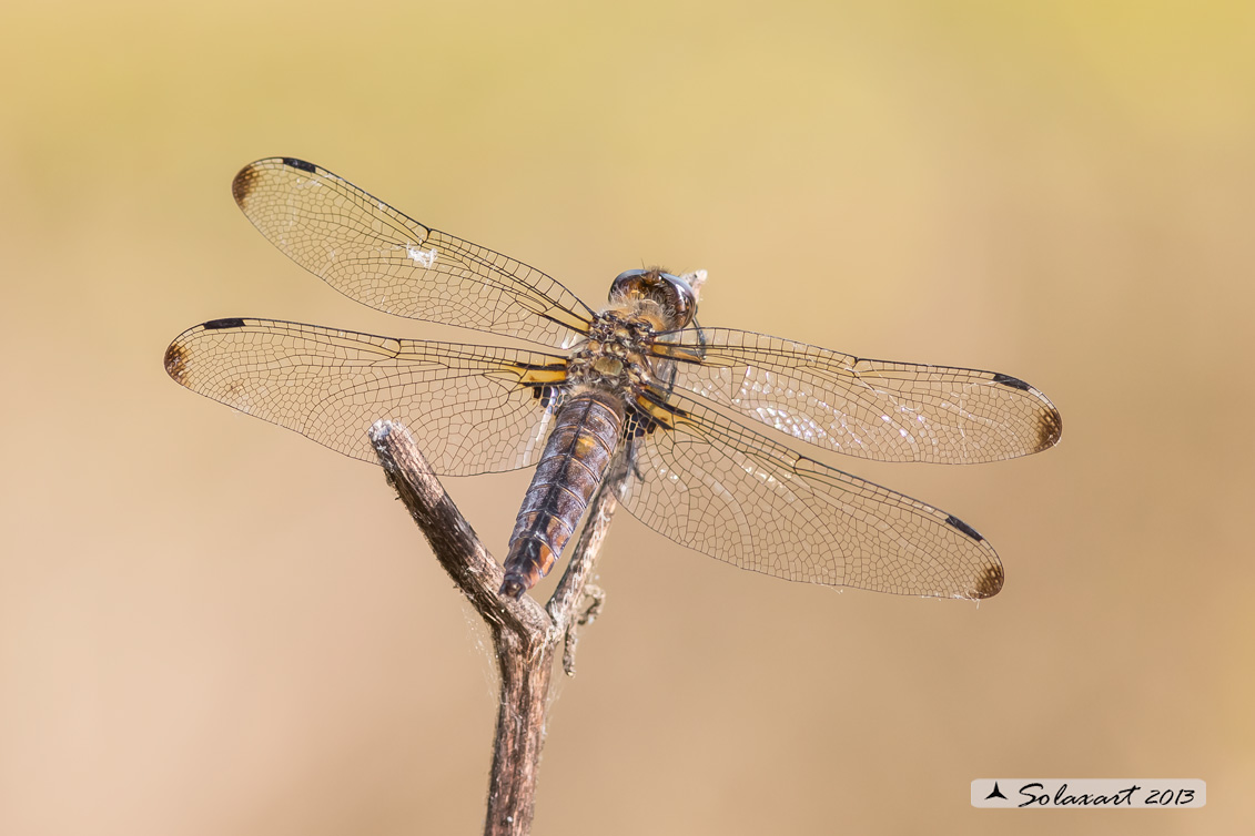 Libellula fulva  femmina    -    Scarce Chaser  (female)