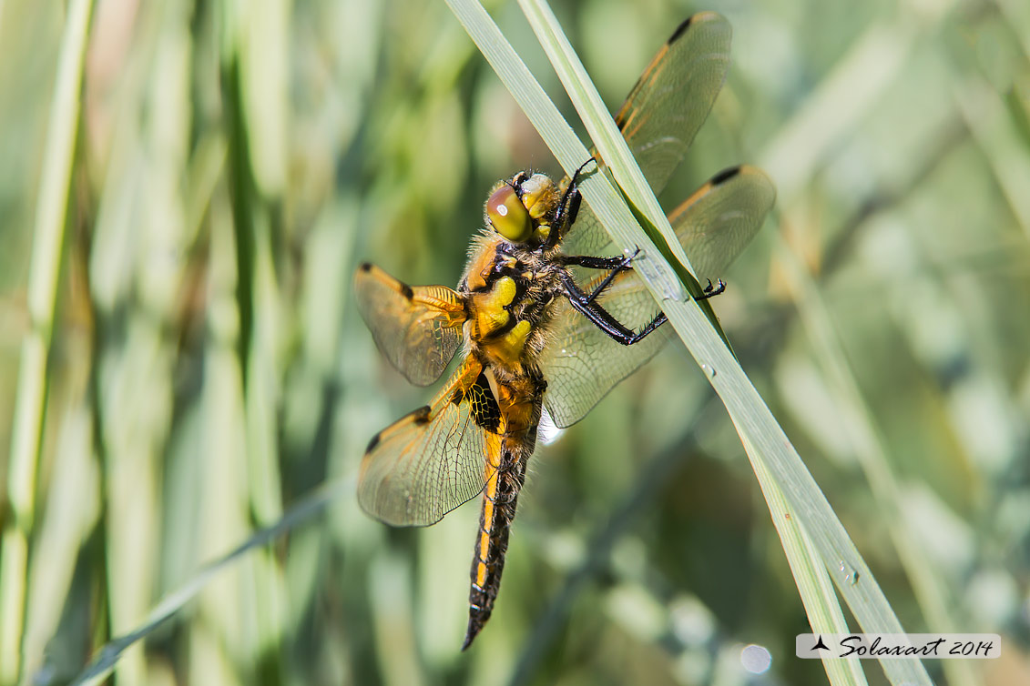 Libellula quadrimaculata (maschio) - Four-spotted Chaser (male)