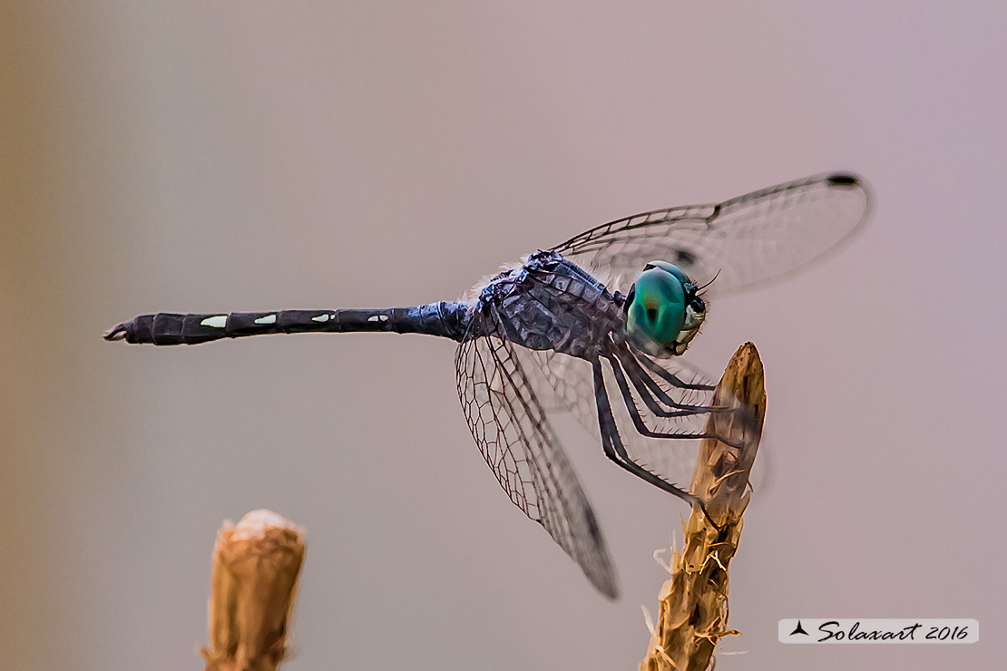 Dythemis nigra :   Blue-eyed Setwing (male)