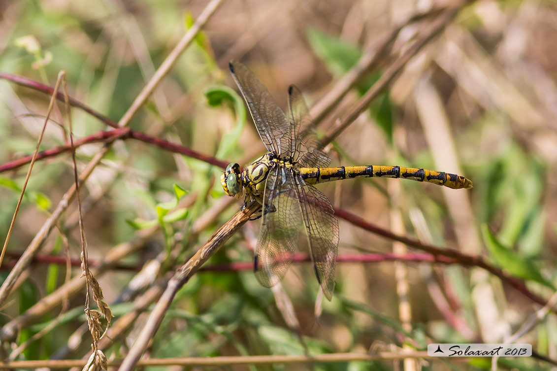 Onychogomphus forcipatus (femmina)   -   Small Pincertail or 'Green-eyed Hook-tailed Dragonfly' (female)