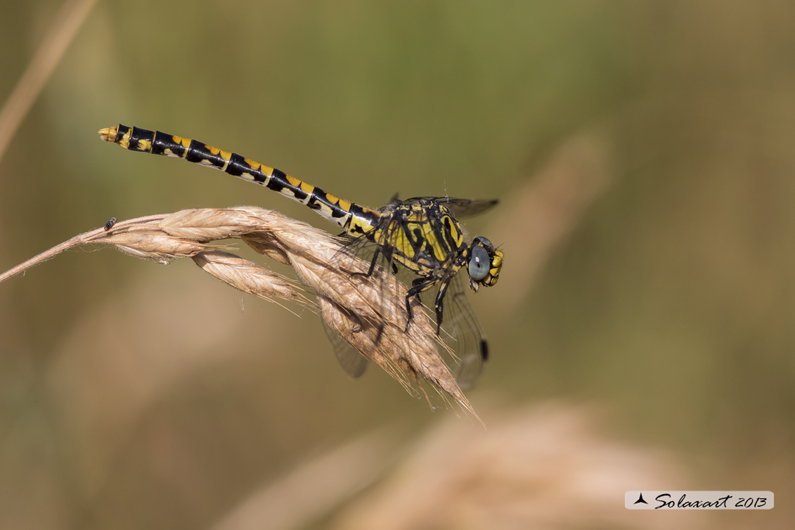 Onychogomphus uncatus   (femmina) - Large Pincertail or 'Blue-eyed Hook-tailed Dragonfly' (female)