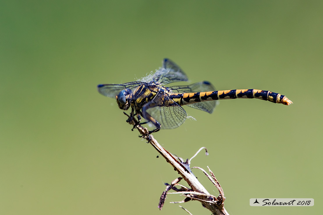 Onychogomphus uncatus (femmina) - Large Pincertail or 'Blue-eyed Hook-tailed' (female)