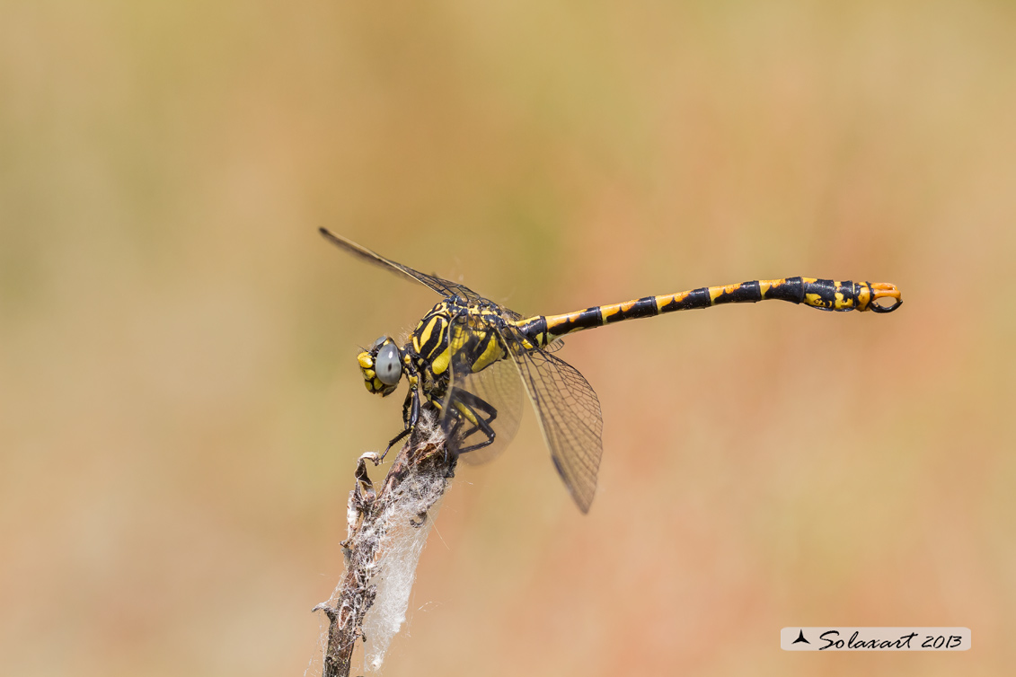 Onychogomphus uncatus - Large Pincertail or 'Blue-eyed Hook-tailed'