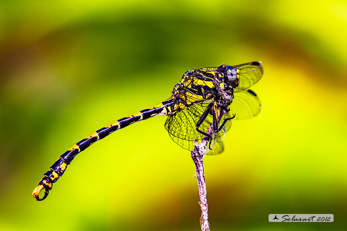 Onychogomphus uncatus   (maschio) - Large Pincertail or 'Blue-eyed Hook-tailed Dragonfly' (male)