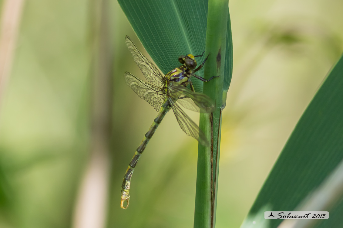 Onychogomphus uncatus   (maschio immaturo) - Large Pincertail or 'Blue-eyed Hook-tailed Dragonfly' (immature male)