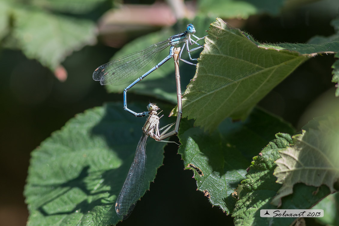 Platycnemis pennipes  (copula) - White-legged Damselfly  (mating)