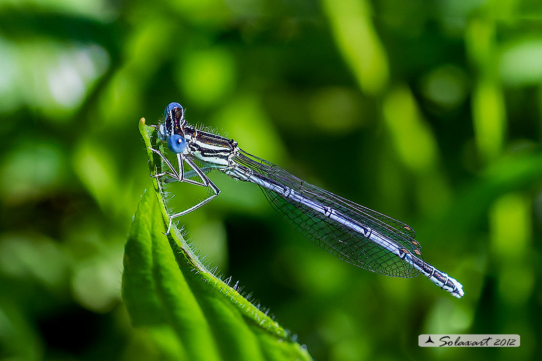 Platycnemis pennipes (maschio) - White-legged Damselfly  (male)