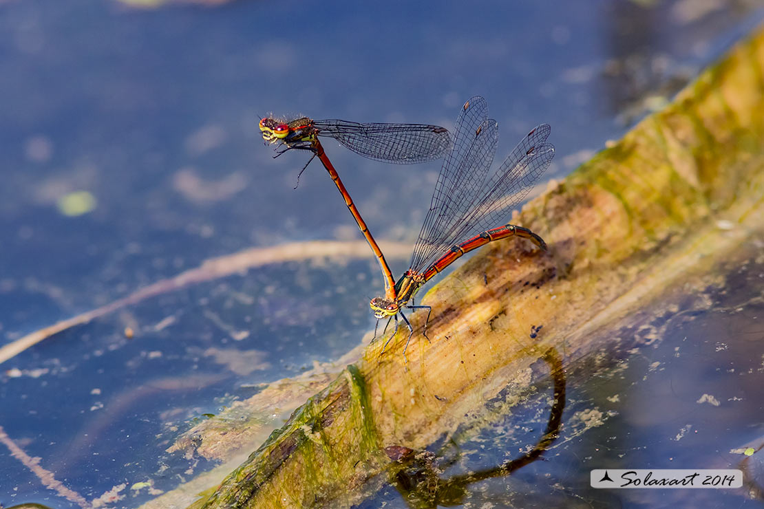 Pyrrhosoma nymphula (ovodeposizione) - Large Red Damselfly (oviposition)