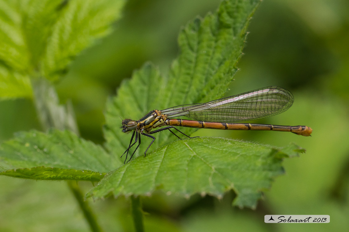 Pyrrhosoma nymphula (femmina ) - Large Red Damselfly (female)