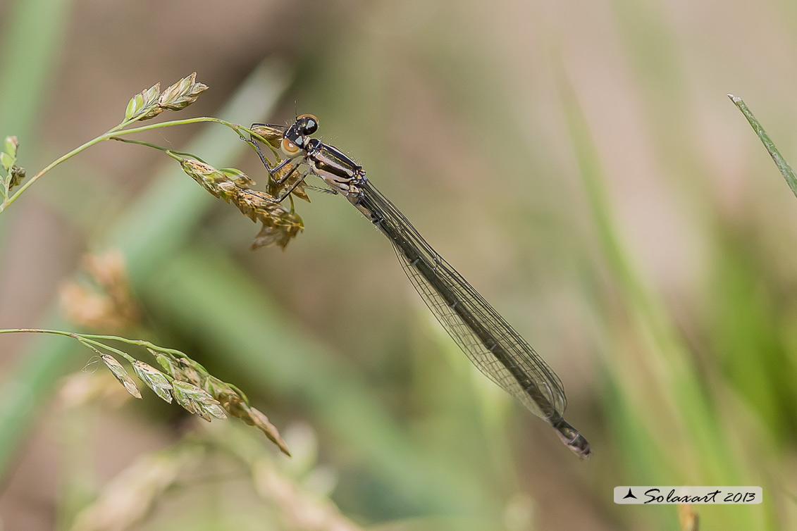 Pyrrhosoma nymphula (femmina immtura) - Large Red Damselfly (immature female)