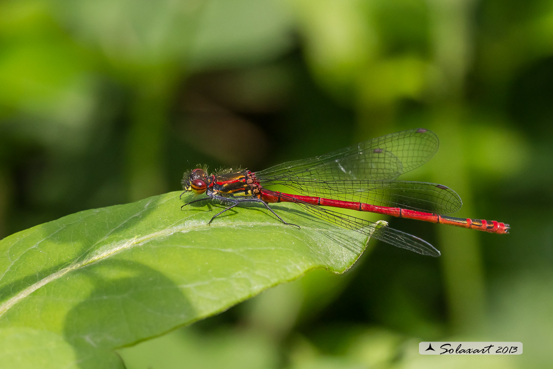 Pyrrhosoma nymphula (maschio) - Large Red Damselfly (male)