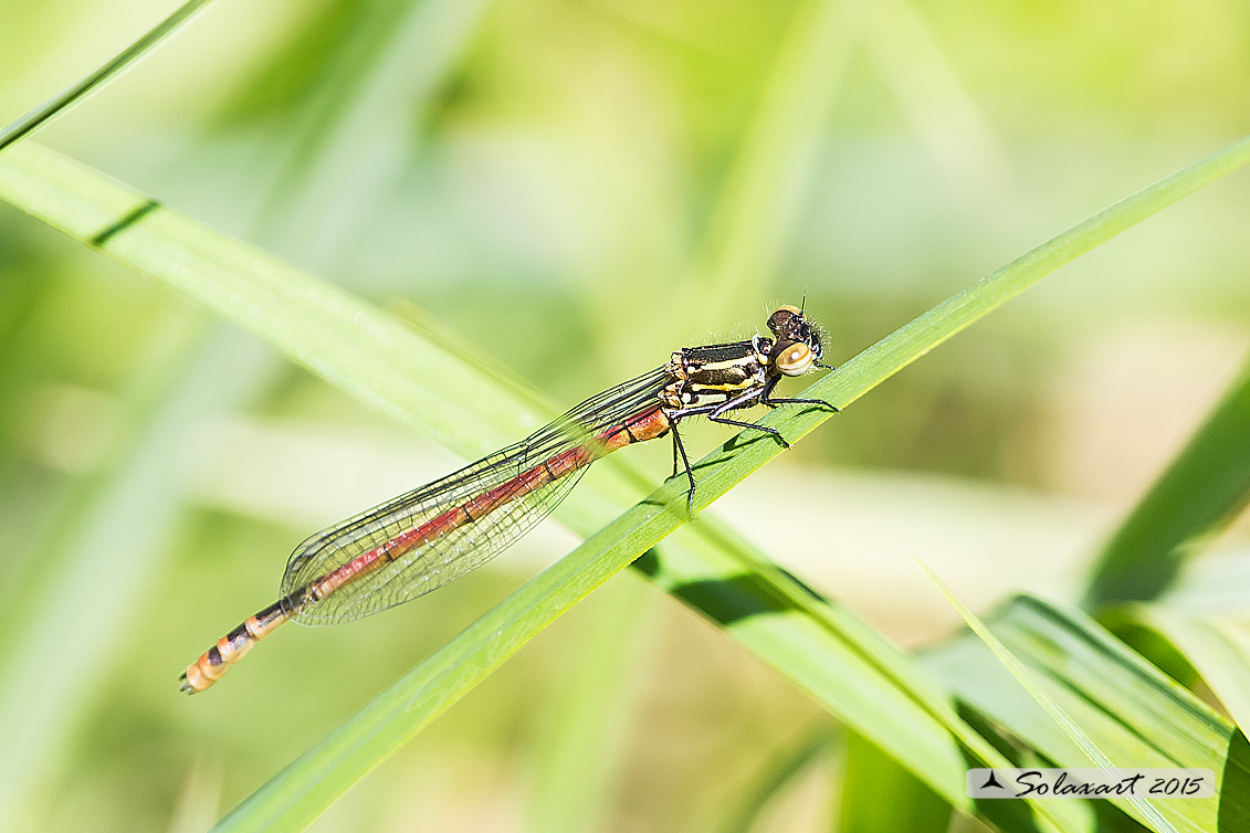 Pyrrhosoma nymphula (maschio immaturo) - Large Red Damselfly (immature male)