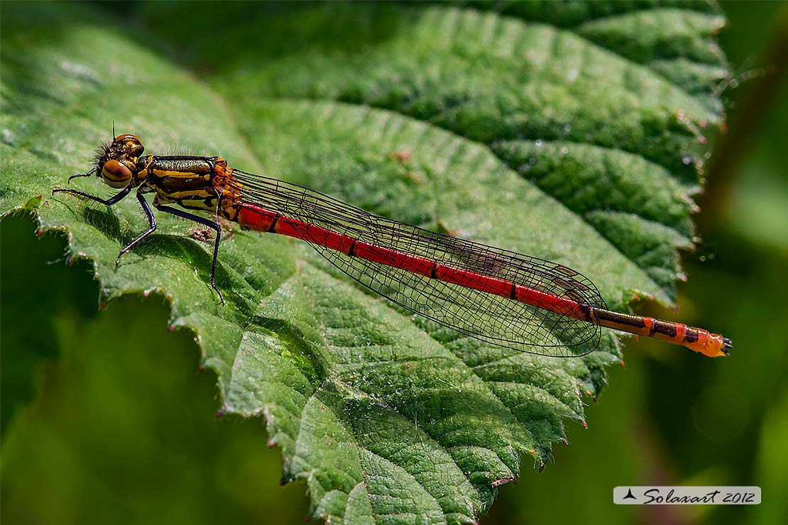 Pyrrhosoma nymphula (maschio immturo) - Large Red Damselfly (immature male)