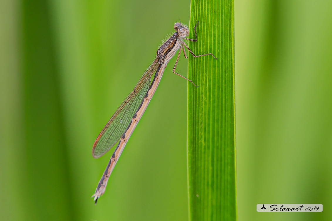 Sympecma fusca (femmina) - Common Winter Damselfly (female)