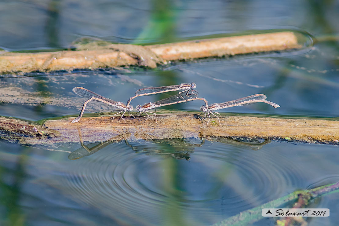 Sympecma fusca  - Common Winter Damselfly