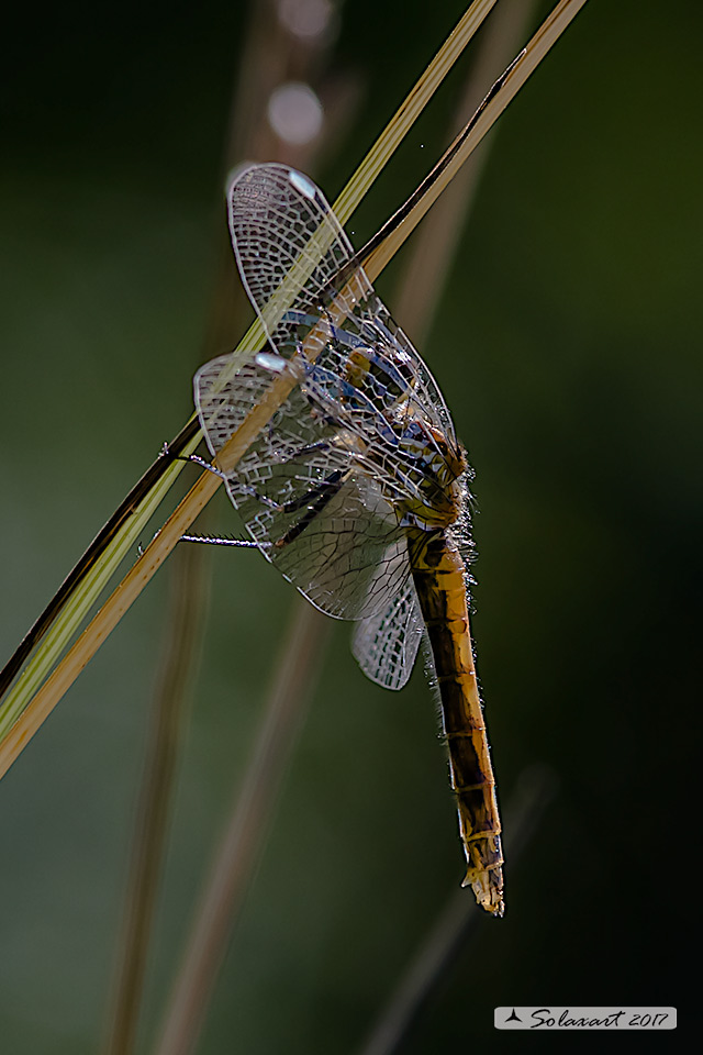 Sympetrum danae:    Cardinale nero (femmina)    ;    Black Darter  (female)