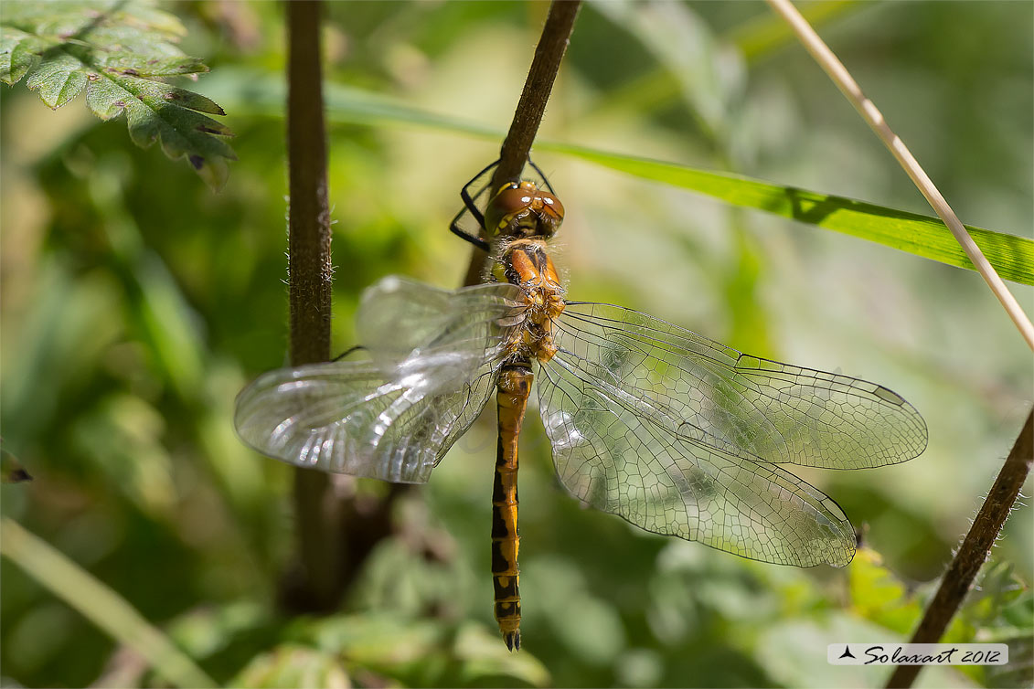 Sympetrum danae  (femmina)    -    Black Darter  (female)