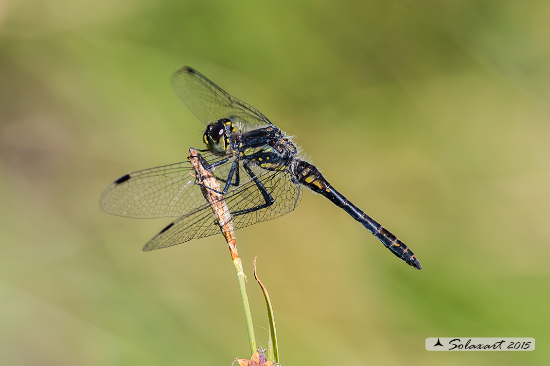 Sympetrum danae  (maschio)    -    Black Darter  (male)