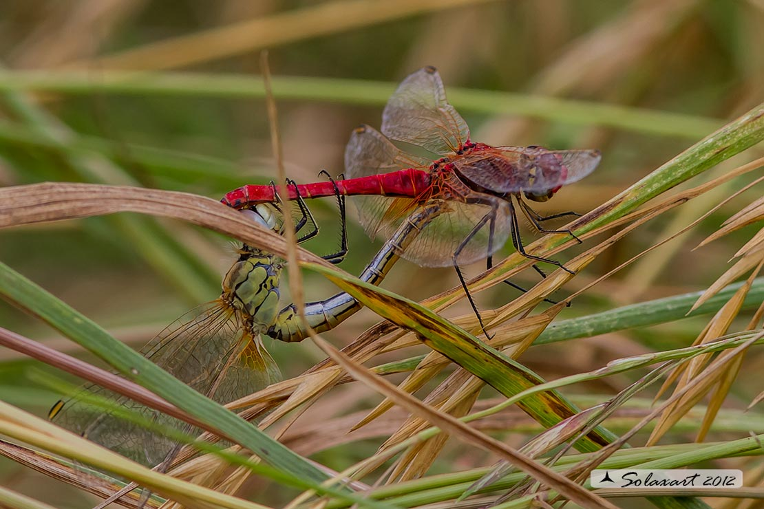 Sympetrum fonscolombii (copula) - Red-veined darter (mating)