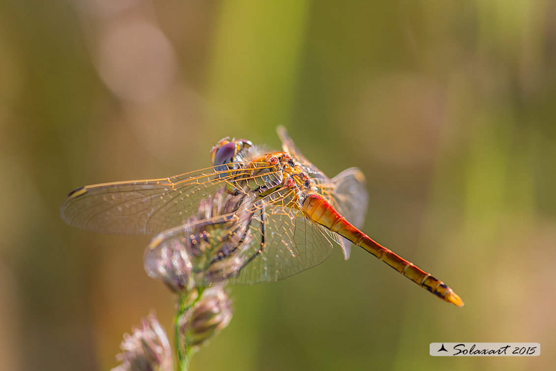 Sympetrum fonscolombii  (maschio)     -    Red-veined darter  (male)