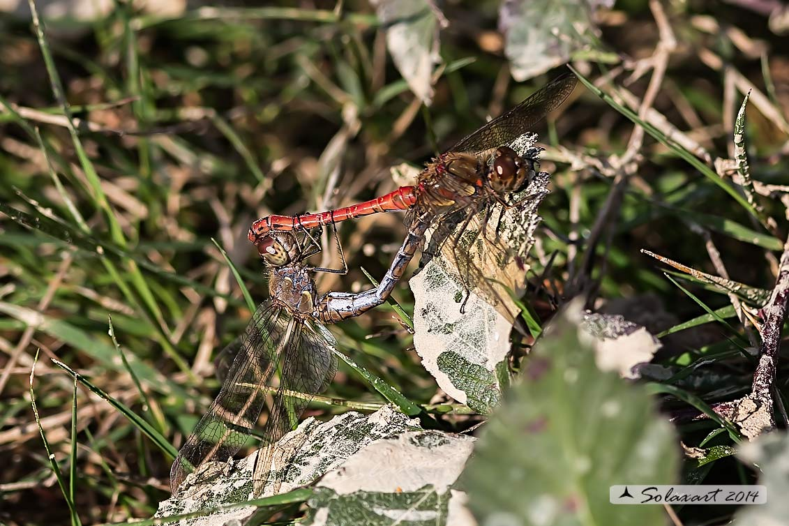 Sympetrum striolatum  (copula in Novembre)     -    Common Darter  (mating on november)