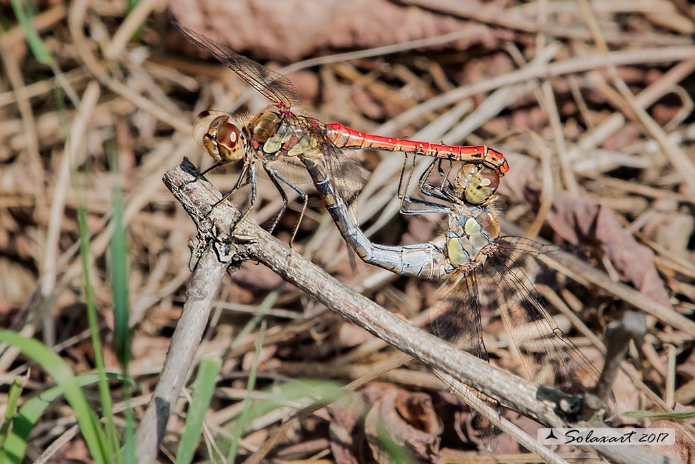 Sympetrum striolatum:  Cardinale striato (copula)    ;    Common Darter  (mating wheel)