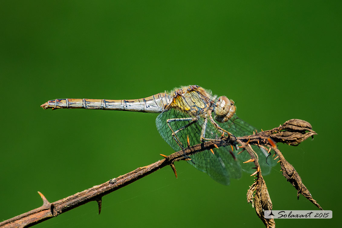 Sympetrum striolatum  (femmina)    -    Common Darter  (female)