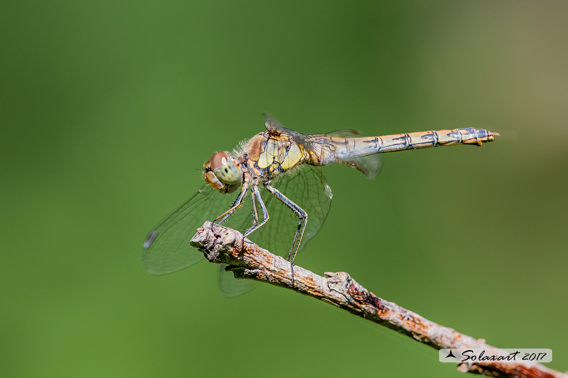 Sympetrum striolatum:  Cardinale striato (femmina)    ;    Common Darter  (female)