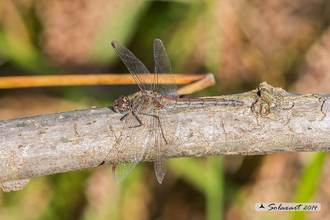 Sympetrum striolatum (femmina anziana)    -    Common Darter  (old female)