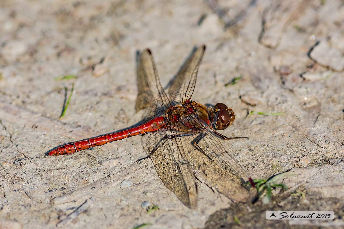 Sympetrum striolatum:  Cardinale striato (maschio)    ;    Common Darter  (male)