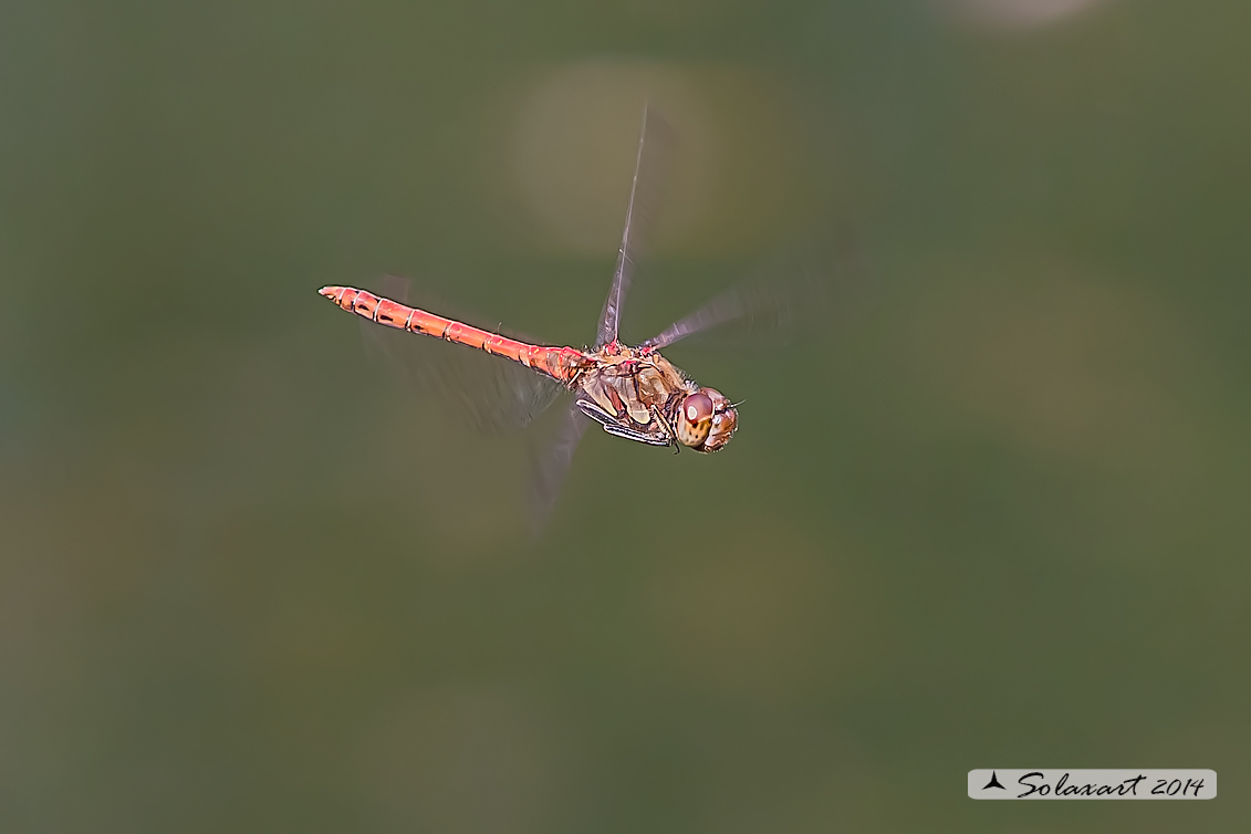 Sympetrum striolatum  (maschio)     -    Common Darter  (male)