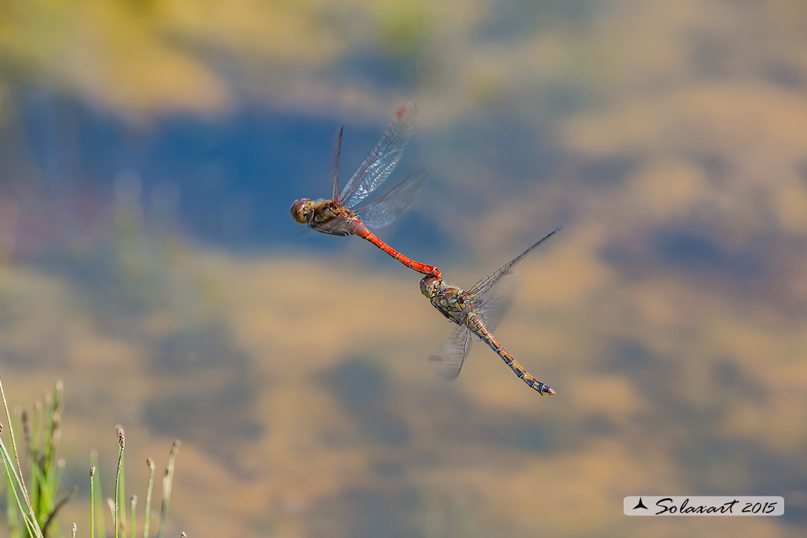 Sympetrum striolatum (ovodeposizione)     -    Common Darter  during oviposition