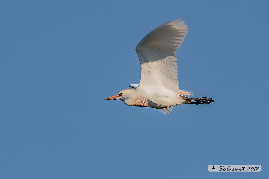 Bubulcus ibis :  Airone guardabuoi ;    Cattle Egret