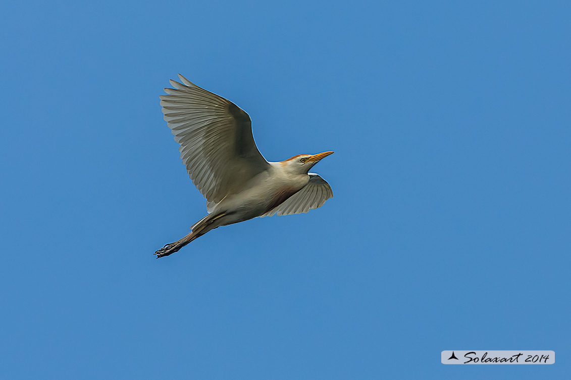 Bubulcus ibis - Airone guardabuoi - Cattle Egret