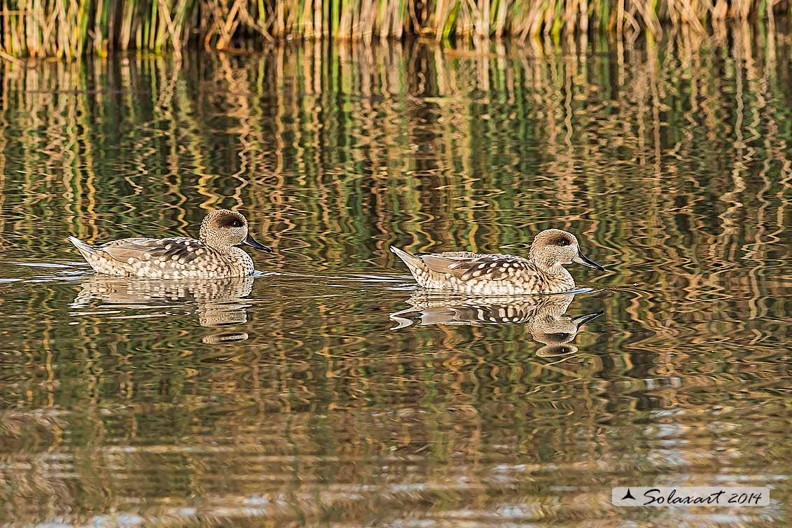 Marmaronetta angustirostris - Anatra marmorizzata  -  Marbled Duck or Marbled Teal