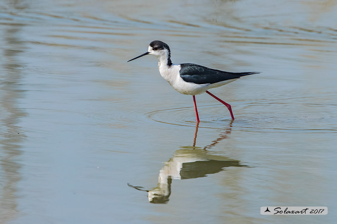 Himantopus himantopus  -  Cavaliere d'Italia, maschio  -  Black-winged Stilt, male