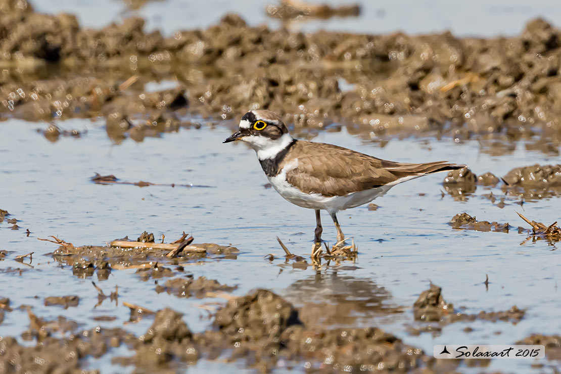 Charadrius dubius  -  Corriere piccolo  -  Little ringed plover