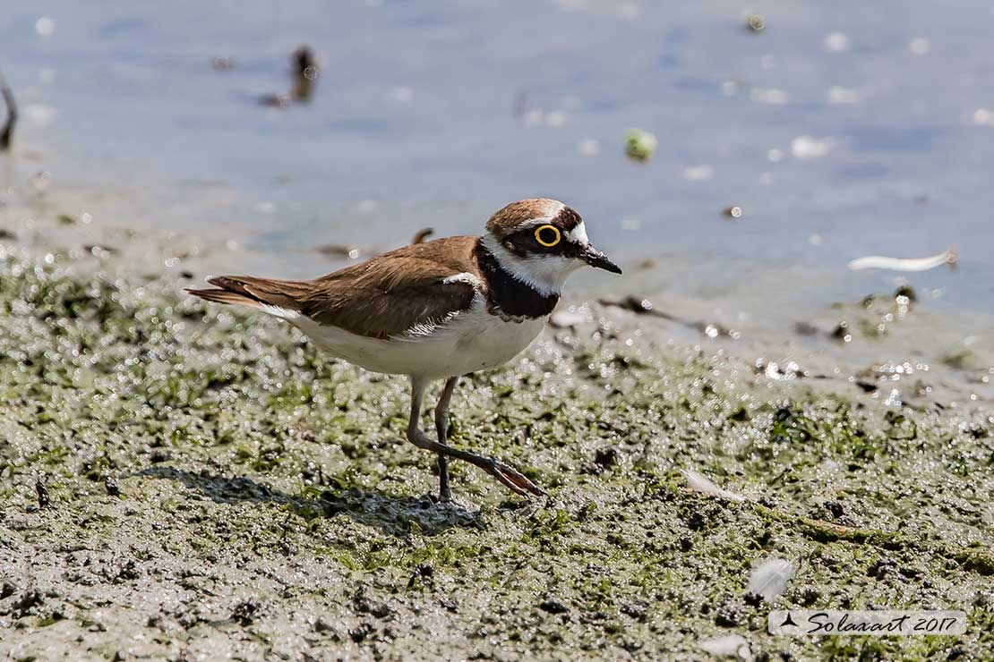 Charadrius dubius: Corriere piccolo;  Little ringed plover