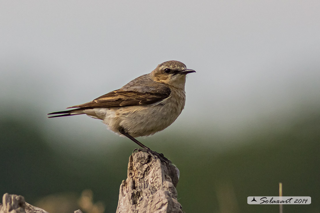 Oenanthe oenanthe:  Culbianco (femmina) ;  Northern Wheatear (female)