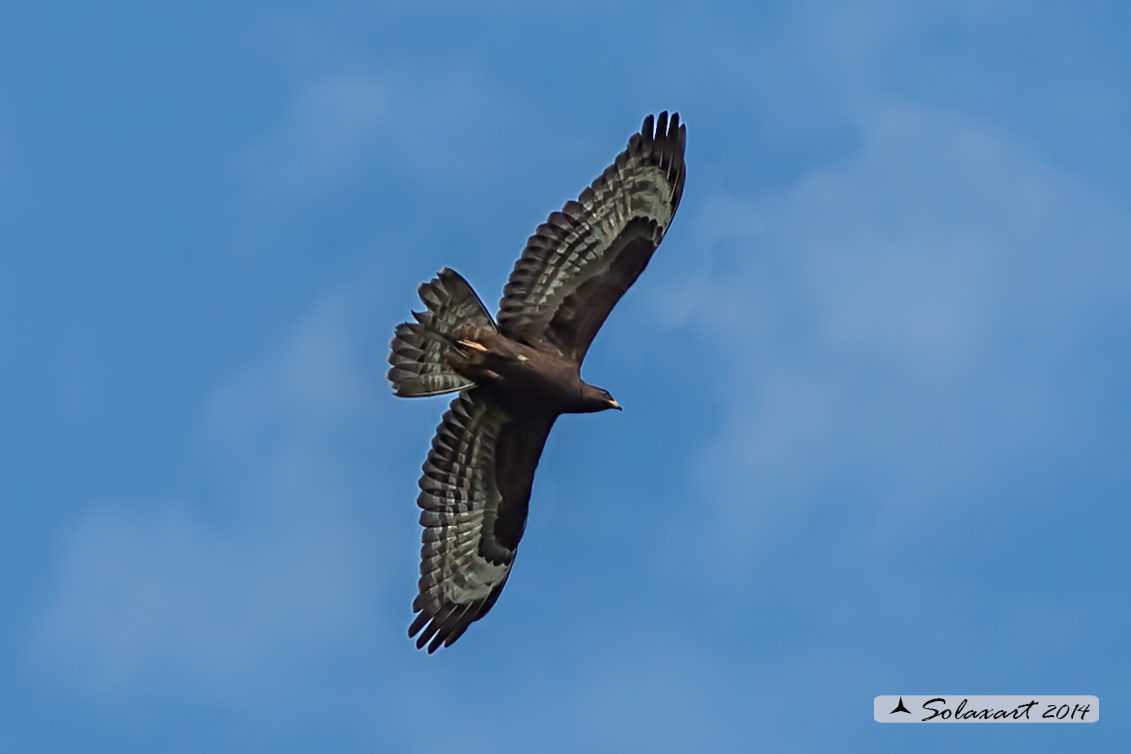 Pernis apivorus:  Falco pecchiaiolo, maschio morfismo scuro - European Honey Buzzard black