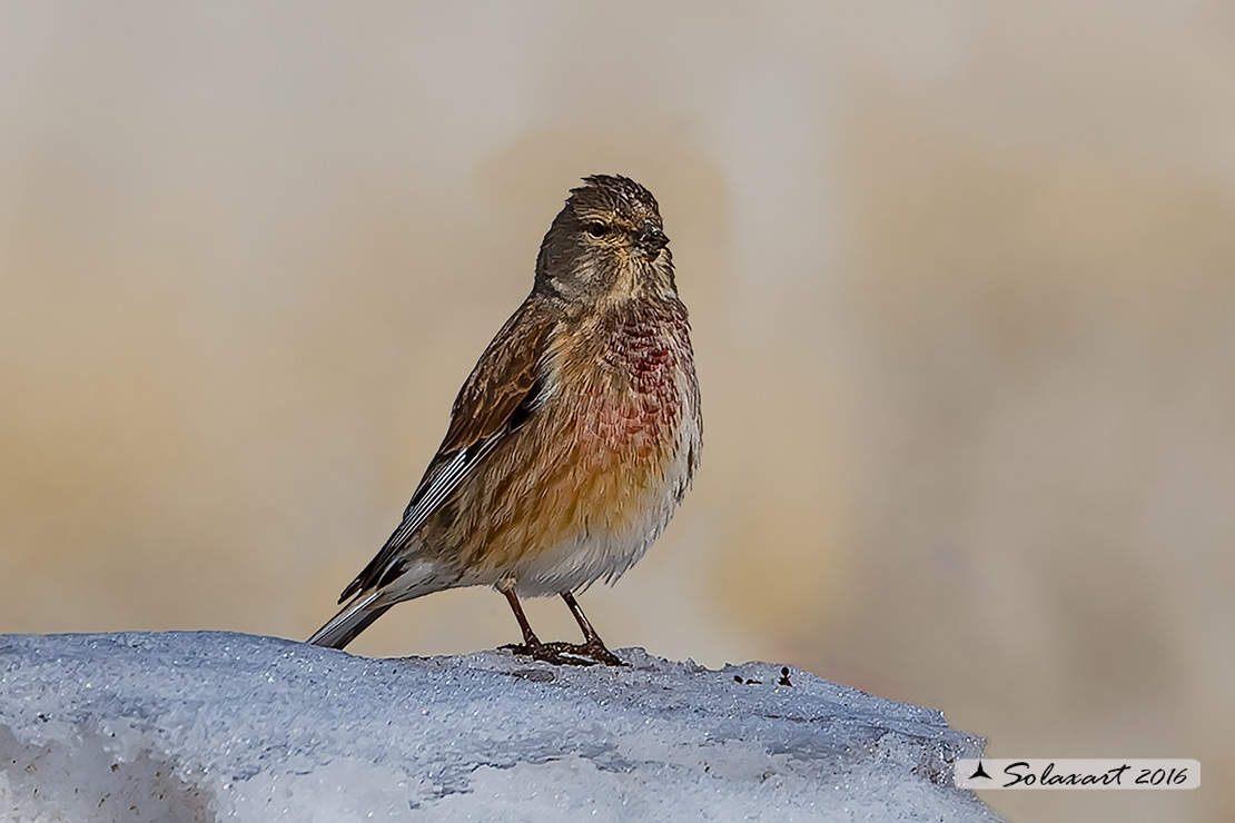Linaria cannabina :  Fanello (maschio) ;  Common linnet (male)