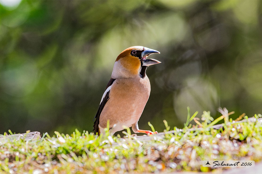 Coccothraustes coccothraustes; Frosone (maschio in tenuta estiva) ; Hawfinch (male in summer plumage)
