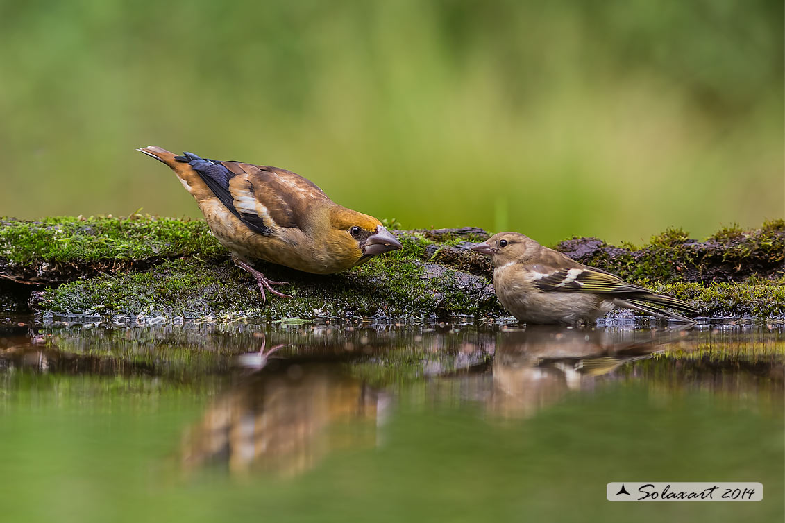 Coccothraustes coccothraustes;   Frosone  (maschio giovane) ; Hawfinch (juvenile male)