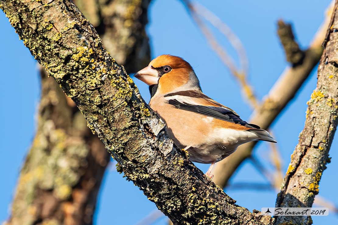 Coccothraustes coccothraustes; Frosone  (maschio) in tenuta invernale ; Hawfinch (male)